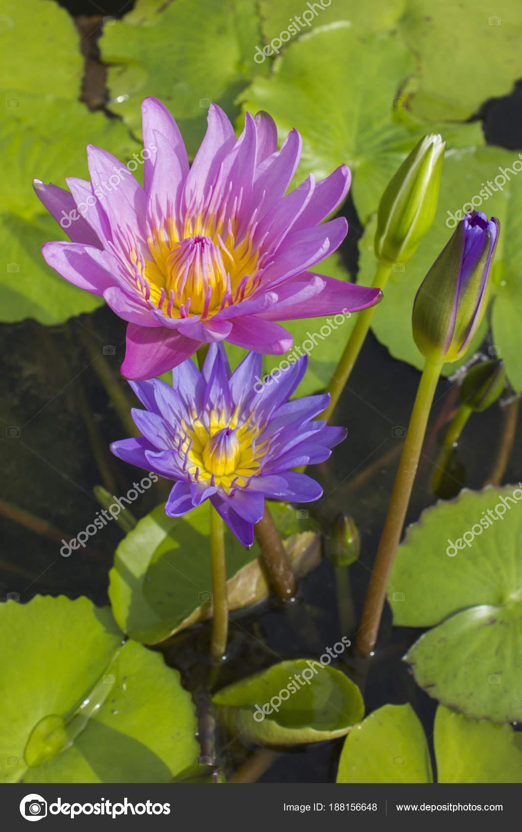 Elegant Blue Pink Lily Flower Lotus Water Lotus Flower Water Stock