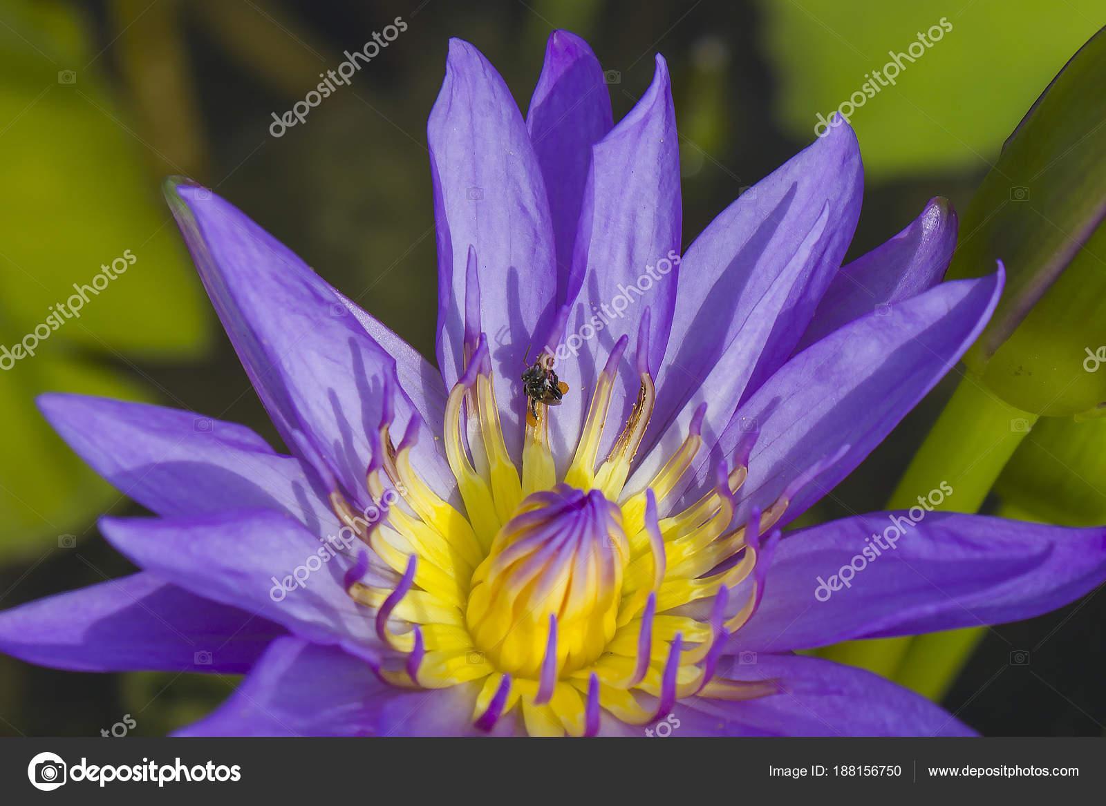 Elegant blue lily flower lotus water lotus flower water lily stock elegant blue lily flower lotus water lotus flower water lily stock photo izmirmasajfo