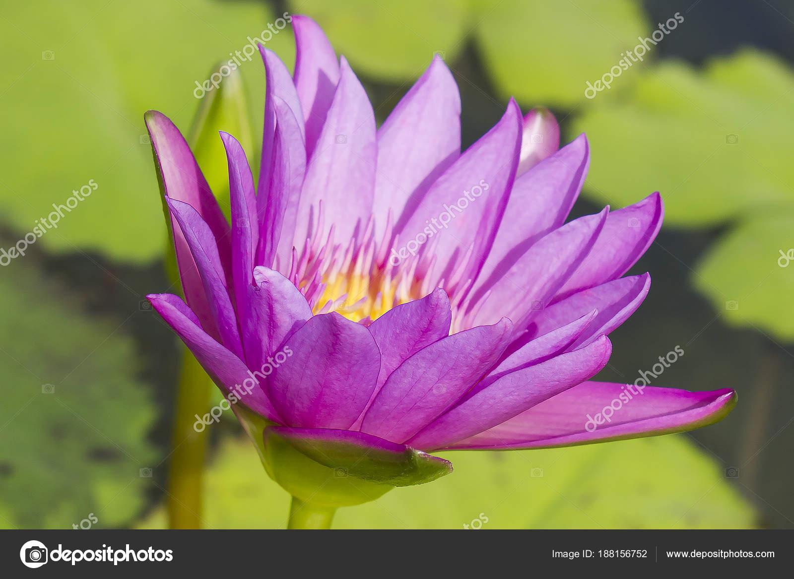 Elegant Pink Lily Flower Lotus Water Lotus Flower Water Lily Stock