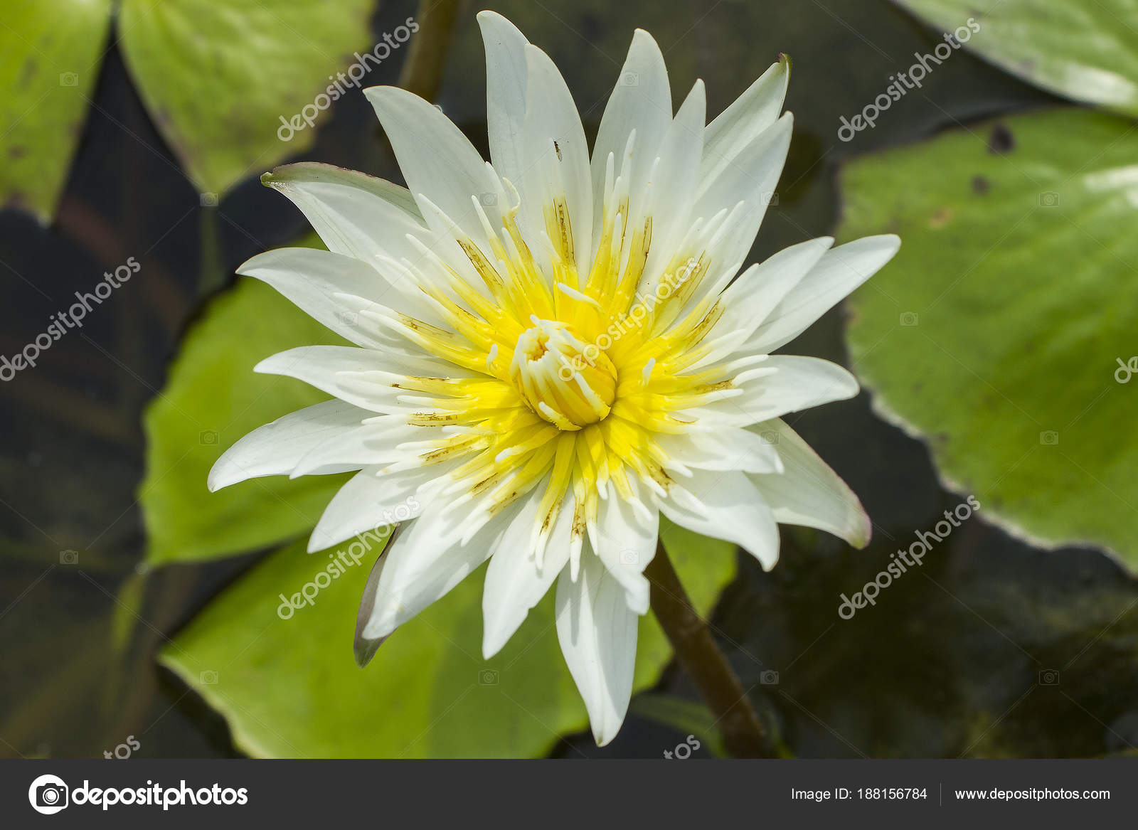 Elegant White Lily Flower Lotus Water Lotus Flower Water Lily