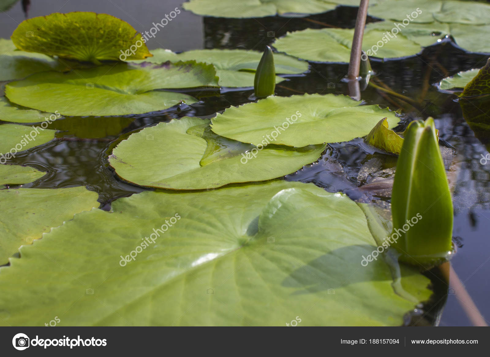 Lily Leaves Lotus Water Lotus Flower Water Lily National Flower