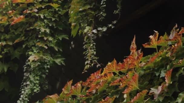 barevné listí liana