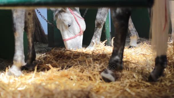 Kopyta a nohy koní a krmení šedé koně