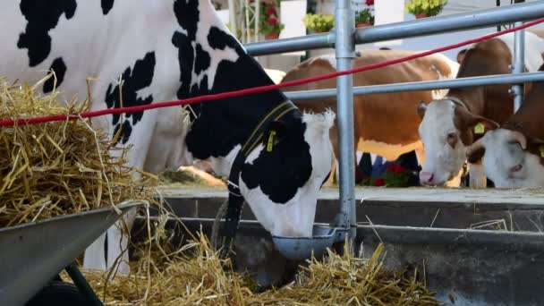 Black and white cow,eating from the bowl