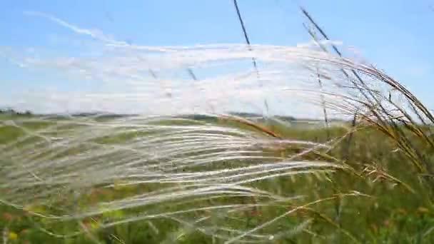 Rare species of grass,stipa pennata,on the wind
