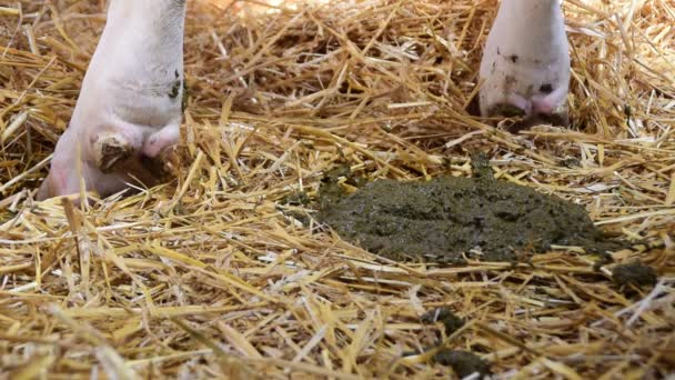 kravské výkaly na slámě ve stodole