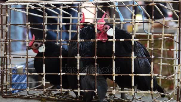 nero terzo pollo in una gabbia, Gallo
