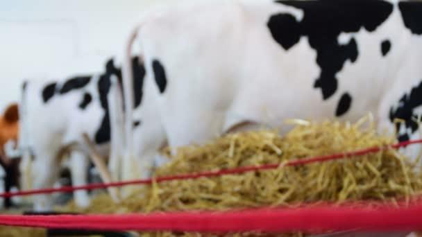 Změňte zaměření, černé a bílé krávy v řadě, zadní strana