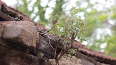 mladý strom roste ze staré střechy opuštěného domu