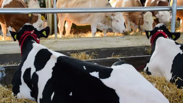 black and white cows and a brown and white cows grazing and resting in a barn, Agricultural Fair, May 18. 2017. Novi Sad, Serbia