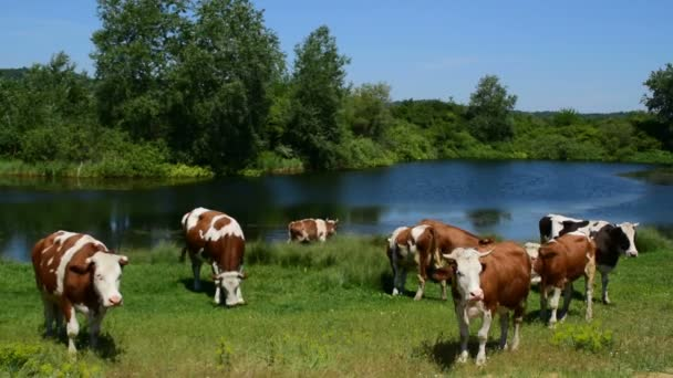 herd of  brown and white cows grazing near the water on a sunny day