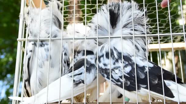 pigeon, decorative pigeon, White Jacobin pigeons in cage