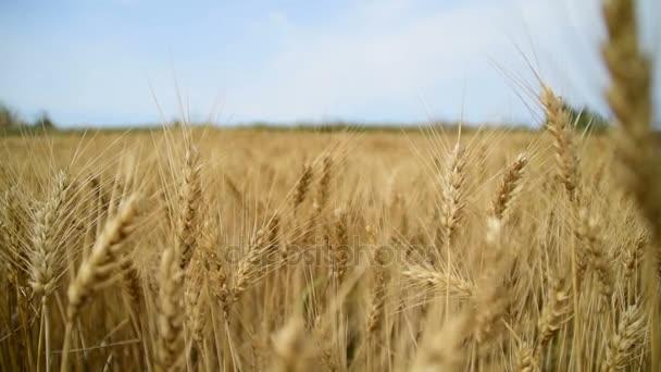 the field of golden grain beneath the blue sky