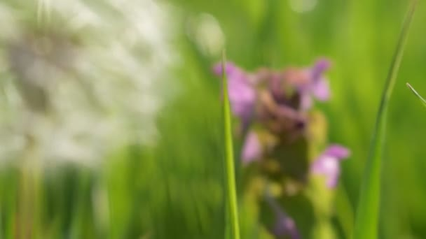 dandelion in grass and field flowers, change of focus