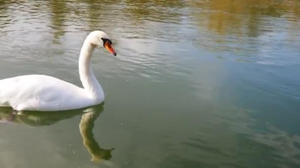 ein weißer Schwan im Wasser wedelt mit seinem Schwanz.