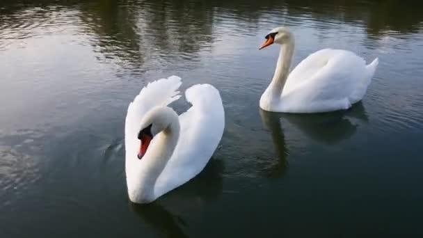 Két fehér hattyú egy vízen..