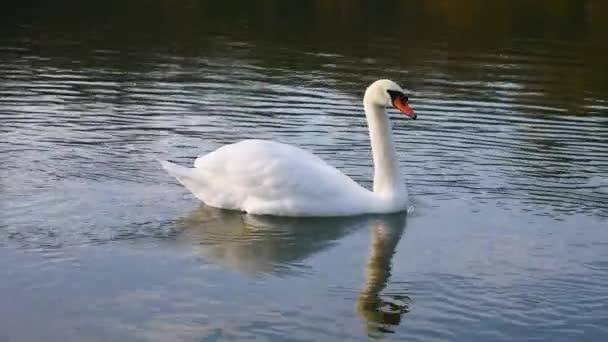 Fehér hattyú vitorlázik a folyón.
