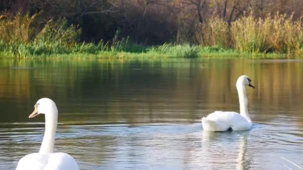 Néhány fehér úszik egy folyó felszínén a zöld vízinövények mellett..