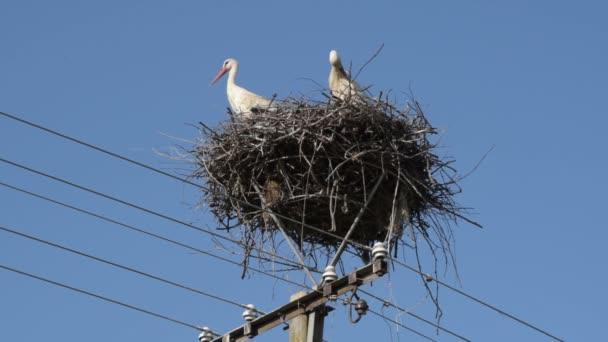 Két felnőtt európai fehér gólya-Ciconia Ciconia-az elektromos pillér tetején kék égbolt alapon