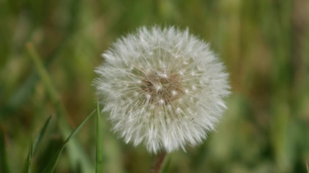 Zblízka spóry pampelišky odvál vítr. Blowball - bílá pampeliška.