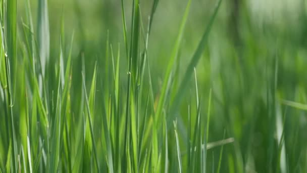 Close up of green field grass on a spring wind.