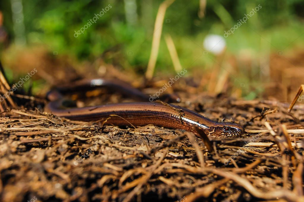 Blindworm or slow worm
