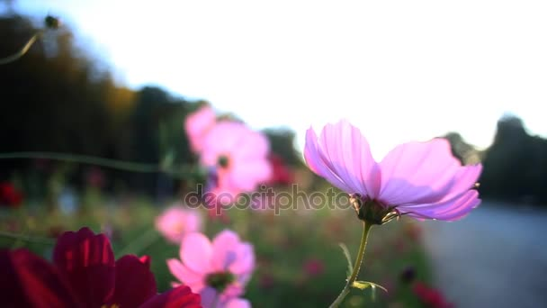 Flowering pink and purple garden flowers with gleamy effect at sunset light on blue sky background