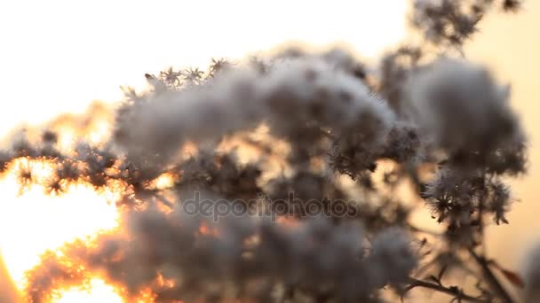 Wild flower bloom close-up , in park at sunset with sun shining in background