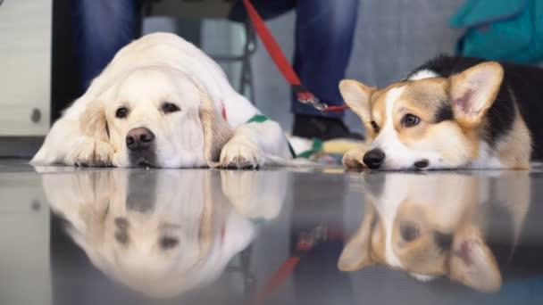 Rozkošný purebredpet pes výstavy