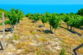 Fotografia vineyards growing on slopes of hills on Black Sea coasts of Bulgaria on a background the sea stretches