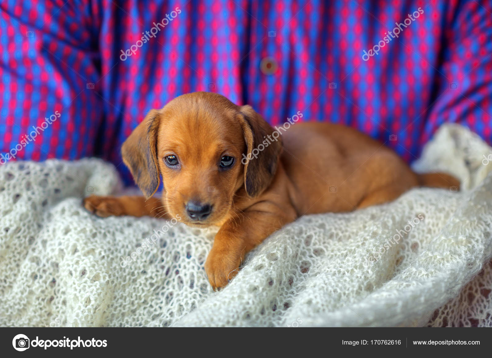 Beautiful Cute Dachshund Puppy Stock Photo C Fotosaga 170762616