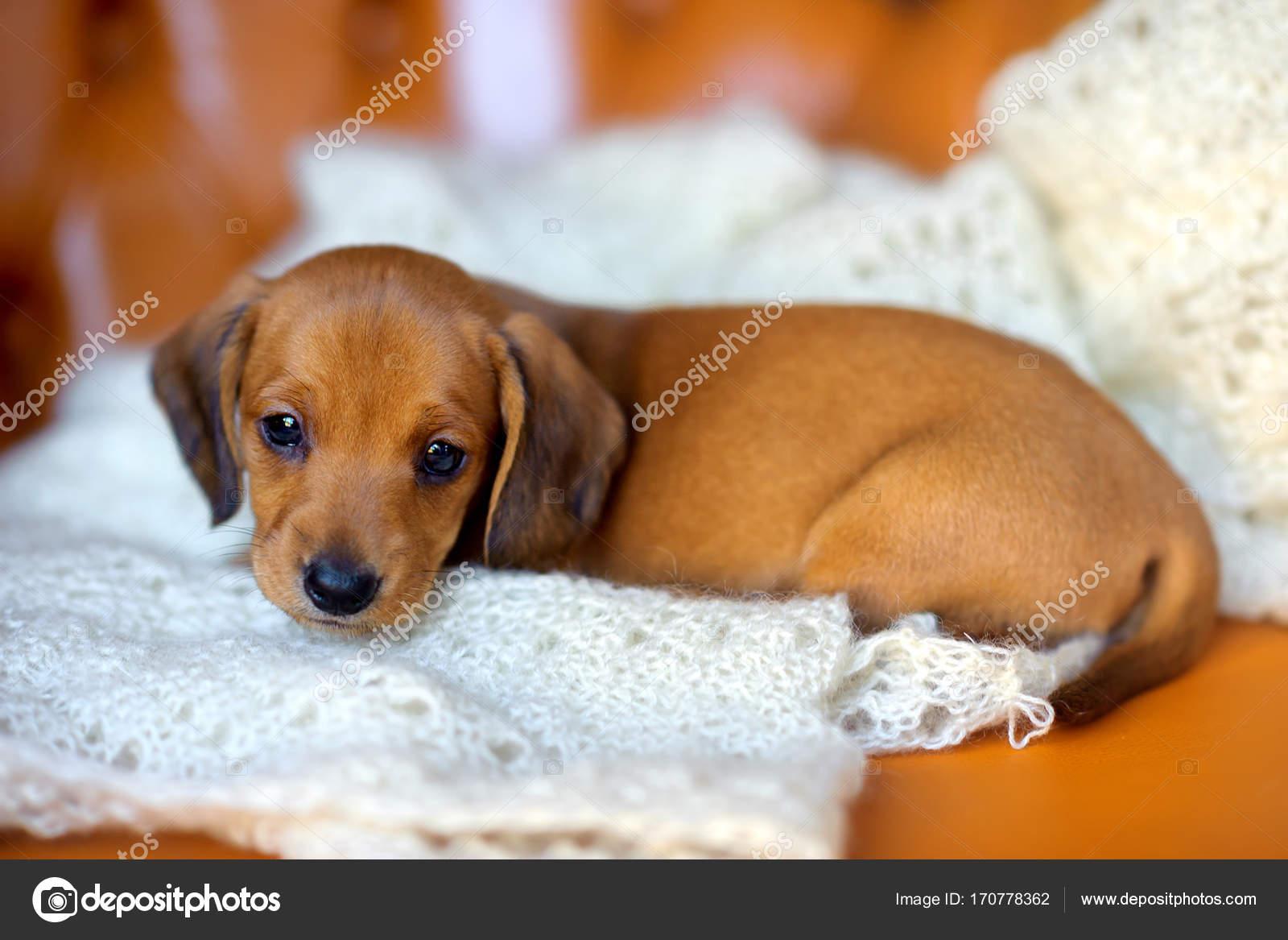 Beautiful Cute Dachshund Puppy Stock Photo C Fotosaga 170778362