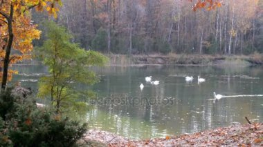 a large flock of white swans resting on the lake