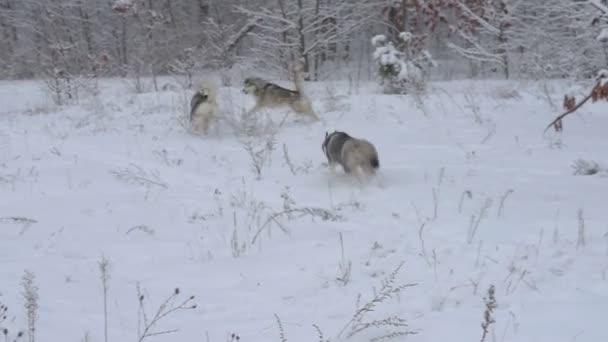tři psi Husky běhat a hrát si v krásné zasněžené lesní