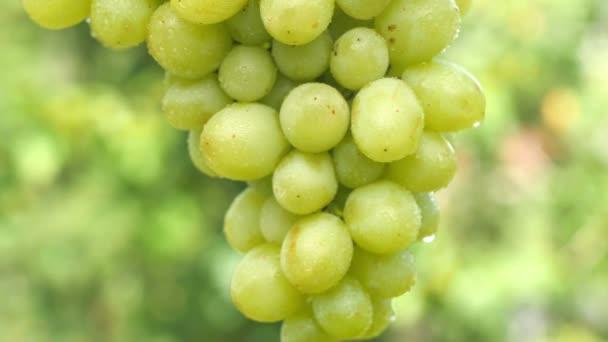 Detailní záběr svazku zralých hroznů s kapkami vody na přirozeném zeleném pozadí. 360 rotace. Lahodné ovoce. Koncept letního jídla. 4K UHD
