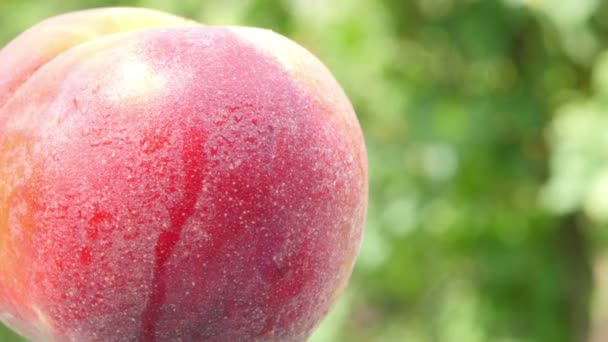 A közeli érett, nedves őszibarack zöld alapon forog. Finom egészséges gyümölcsök. Élelmiszer-koncepció.