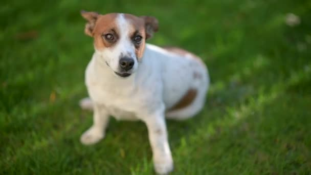 Cute funny dog Jack Russell breed walks in the park. Pets.