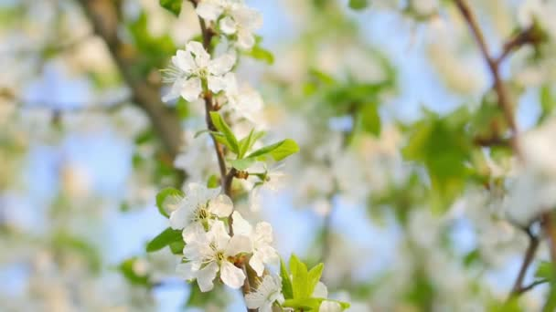 Spring flowering. Blossoming branches of apple trees on a background of blue sky. Tree flowering. Nature