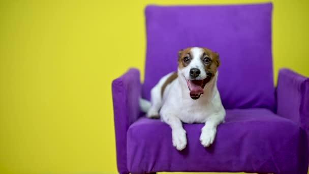 Vtipný pes. Portrét roztomilého psa na žlutém pozadí studia, sedícího na křesle. Jack Russell Terrier.