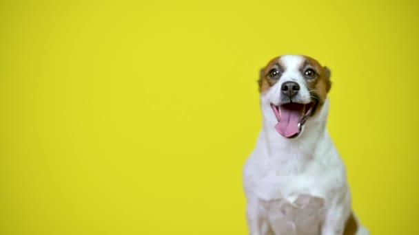 Lustiger Hund. Porträt eines niedlichen Welpen auf gelbem Studiohintergrund. Jack Russell Terrier.