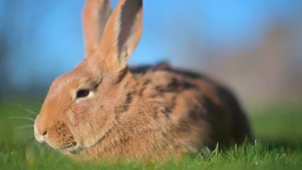 Detailní záběr krásného králíka sedícího na trávníku. králík na zelené trávě