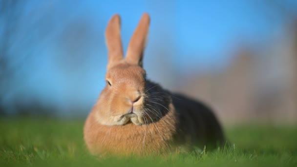 Nahaufnahme eines schönen Kaninchens, das auf dem Rasen sitzt. Hase auf grünem Gras