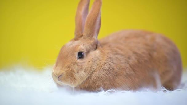 Cute rabbit on a yellow studio background.