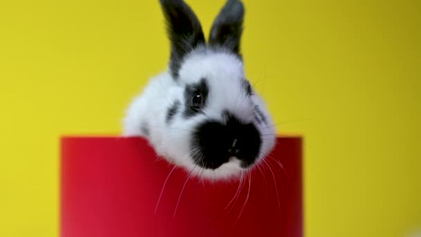 Funny lovely bunny is sitting in a red gift box, on a yellow studio background. celebration concept.