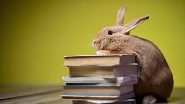 Vtipný hnědý zajíček sedící s předními tlapkami na knihách, na žlutém pozadí studia. Vzdělání