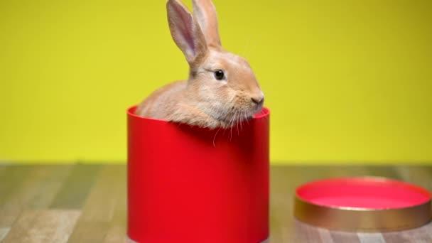 Vicces barna nyuszi ül egy piros ajándék dobozban, sárga stúdió háttérrel. ünnepség koncepciója.