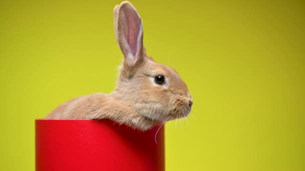 Funny brown bunny is sitting in a red gift box, on a yellow studio background. celebration concept.