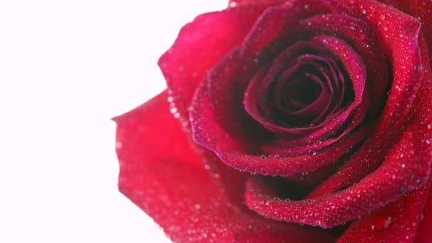 Detailní záběr krásné červené růže pokryté kapkami vody. Kvetoucí růžová květina. Svatební pozadí. Květiny izolované na bílém pozadí.