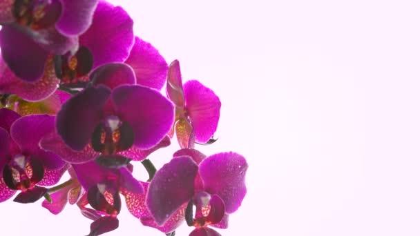 Szekrény gyönyörű virágzó orchidea vízcseppek egy könnyű háttér. Virágzó virág. Esküvői háttér.