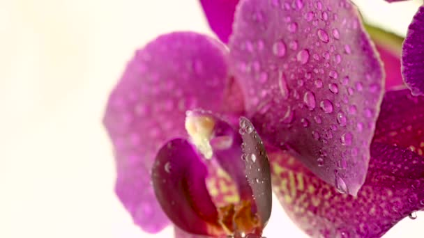 Closeup beautiful blooming orchid with water drops on a light background. Drops flow from the petals. Blooming flower. Wedding backdrop.